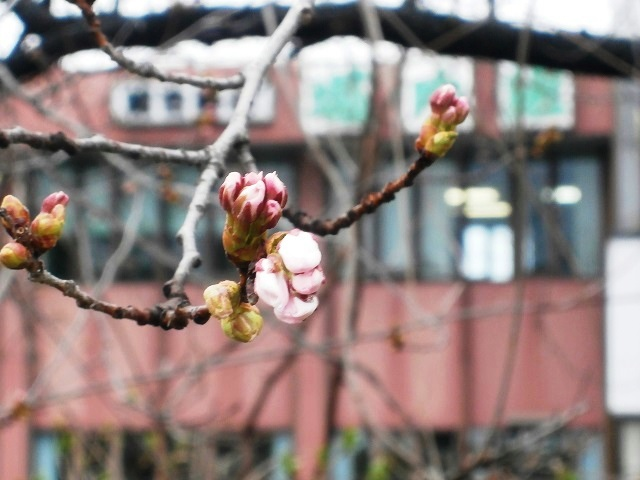 会社桜.jpg