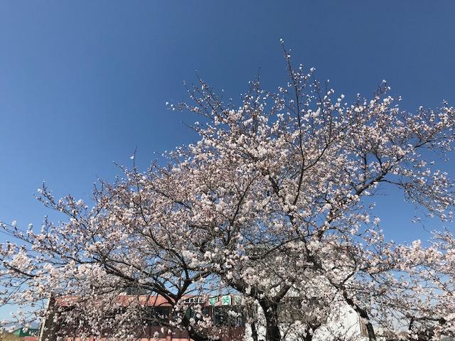 2019年桜.jpeg
